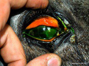 Eye-Ulcer-Conjunctivitis-300x224