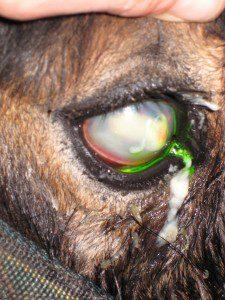 Eye-ulcer-fluoroscein-225x300